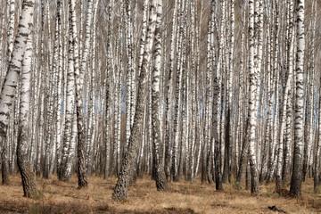Panel Szklany Podświetlane Brzoza birches