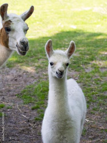 Fotobehang Lama Llama (Lama glama) baby