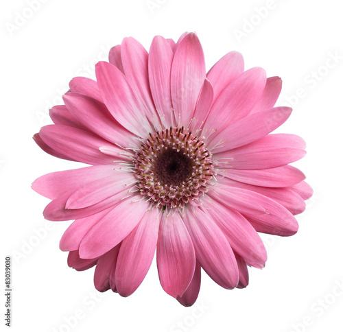 Foto op Aluminium Gerbera Pink gerbera