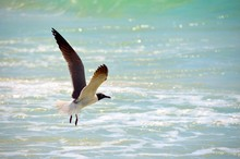 Seagull In Flight At A Panama ...