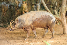 Babirusa In A Zoo