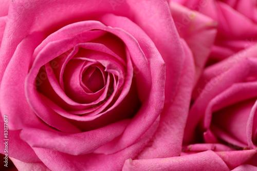 Photo sur Aluminium Macro Beautiful pink roses close up