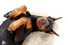 Joyful Lying Dog On White Carpet.