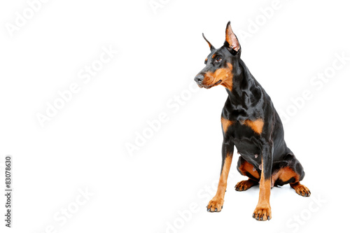 Sitting dobermann pinscher on white isolated background Canvas Print