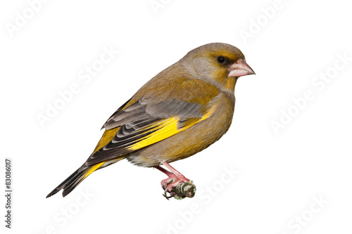 Tableau sur Toile Male greenfinch isolated on white background