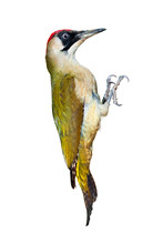 Female Green Woodpecker Isolated On White Background