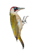 Male Green Woodpecker Isolated On White Background