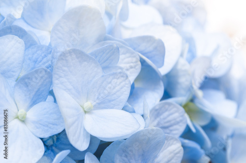 Wall Murals Hydrangea Blue Hydrangea