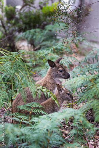 Spoed Foto op Canvas Lynx Wallaby and Joey in the bush