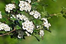 Hawthorn (Crataegus Oxyacantha)