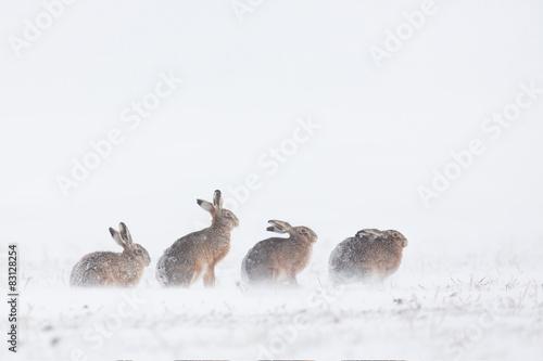 Hasen im Schnee Fototapete
