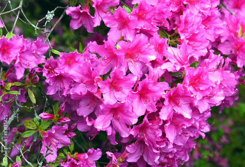 Foto op Canvas Azalea Beautiful flowers in a public Park