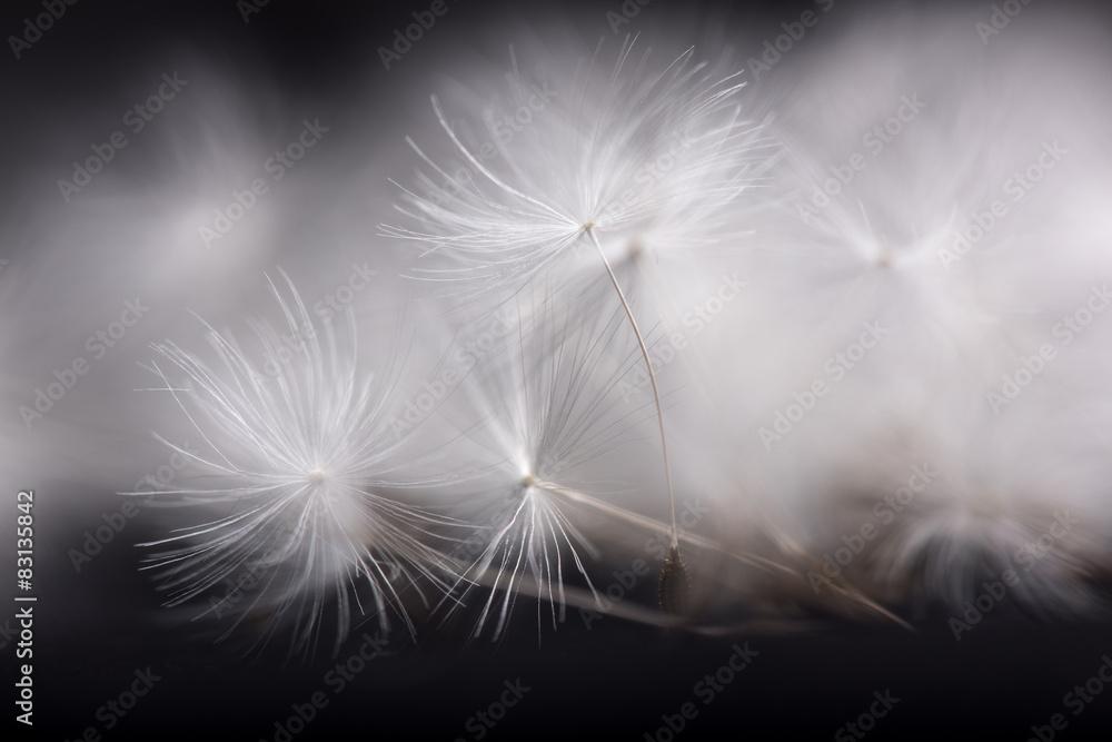 Fototapety, obrazy: Dandelion seeds. Many dandelion seeds, close- up flower seeds.