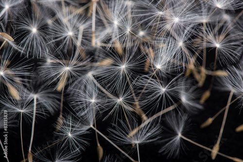 nasiona-mniszka-lekarskiego-wiele-nasion-mniszka-lekarskiego-nasiona-kwiatow-z-bliska