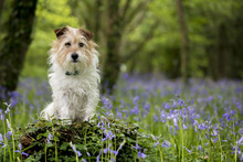 Jack Russell Terrier In The Bl...
