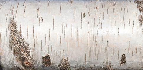 Fototapeta White birch bark, close up background texture