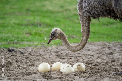 Ostrich protecting the eggs