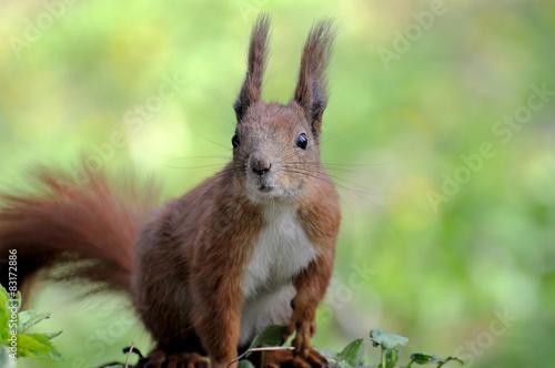 Cadres-photo bureau Squirrel Red Squirrel