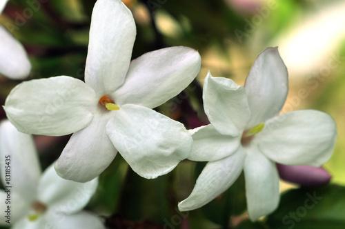 Photo  Fleurs de jasmin