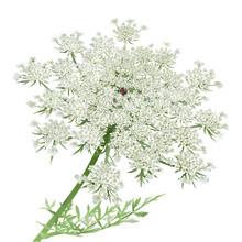 Queen Anne's Lace Or Wild Carrot Flower On White Background