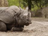Fototapeta Sawanna - hipopotam