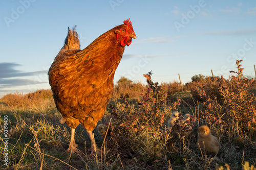 Canvas Print brooding hen and chicks in a farm