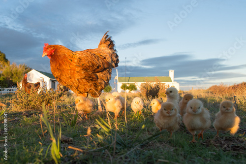 brooding hen and chicks in a farm Fototapet