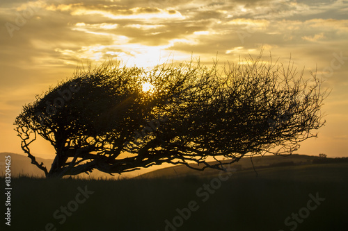 Valokuva  windswept tree on ridge with sunset