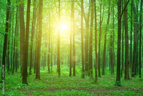 Papiers peints Forets green forest
