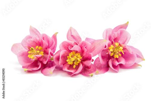 Carta da parati aquilegia flower isolated