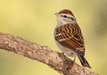 Chipping Sparrow En Una Rama