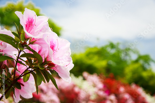 Montage in der Fensternische Azalee Field of flowers of Japanese Azalea