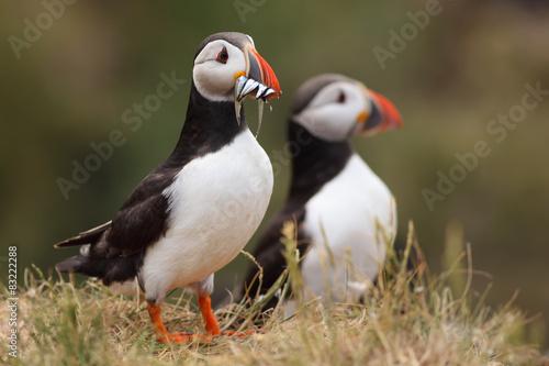 Foto op Plexiglas Arctica Pareja de Frailecillos en Islas Farne