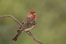 House Finch Macho En Una Rama