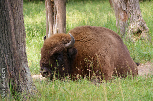 Foto op Canvas Bison young bison