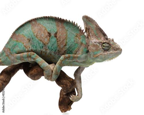 Staande foto Kameleon Greenish brown chameleon on branch