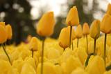 Wiele żółtych tulipanów