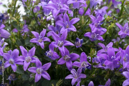 Foto op Canvas Lilac Beautiful vivid purple spring flower bush Dalmatian bellflower (Campanula portenschlagiana)