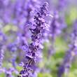 Lavender field, France.