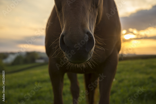 фотография  Horse nose and whiskers against sunset