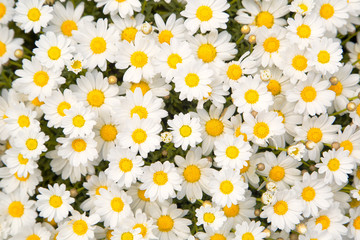Obraz na SzkleLovely blossom daisy flowers background