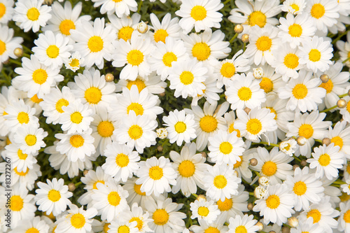 Canvas Print Lovely blossom daisy flowers background