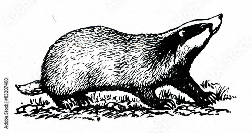 European badger (Meles meles) Canvas Print
