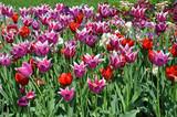 Czerwono fioletowe tulipany