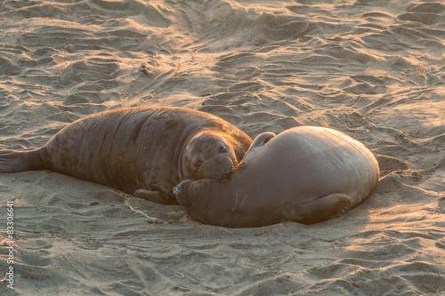 Photo  Elephant Seals on the Beach