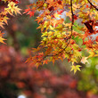 canvas print picture Maple colorful leaves background
