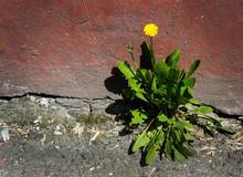Concrete Wall Flower Yellow Dandelion Resistant Life