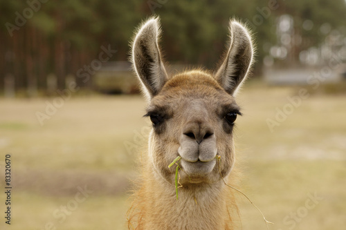 Fotobehang Lama Lustiges Lama / Ein Lama mit einem Grashalm im Maul