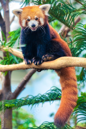 Canvas Print Red Panda