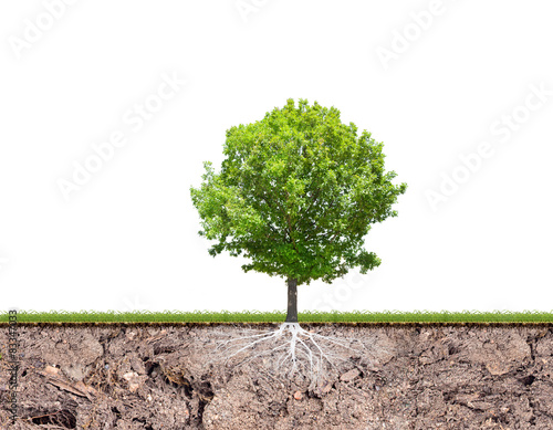 oak tree with root in soil isolated on white